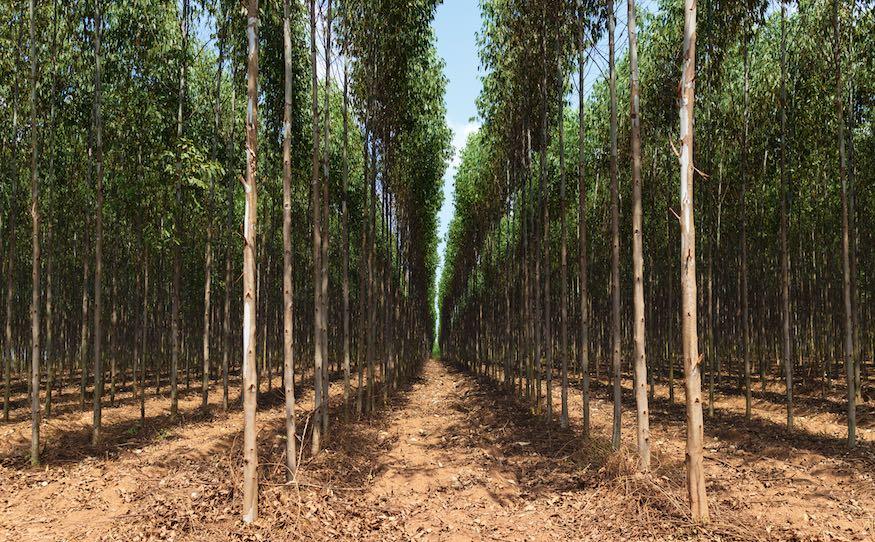 lytpus plantation growth
