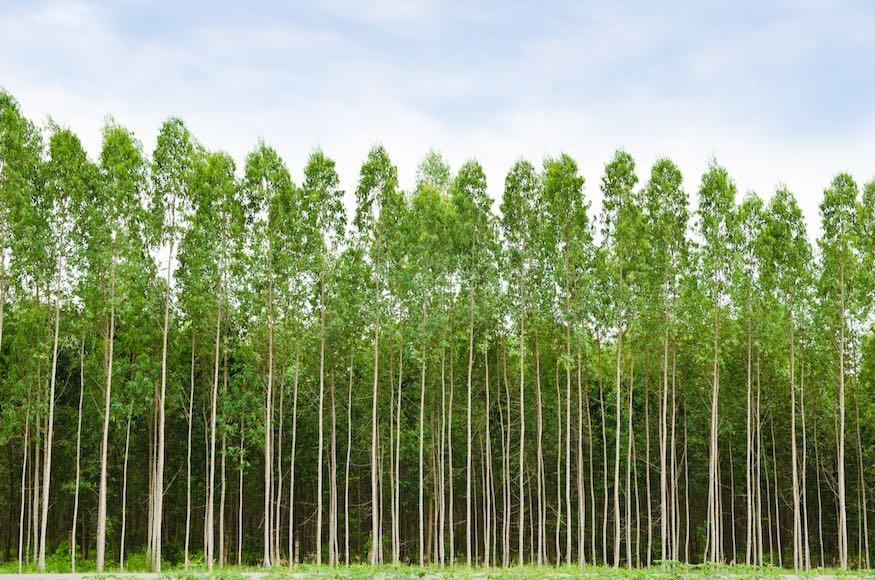 lytpus trees growing in wild