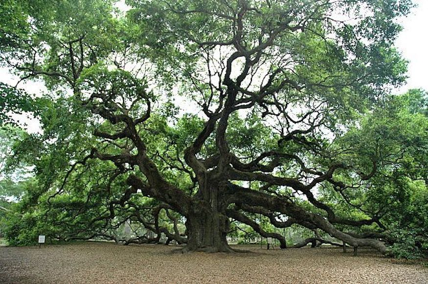 white oak grown tree