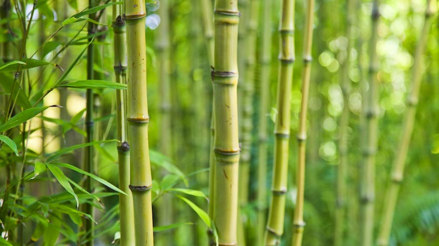 Stalks of bamboo growing in a grove.